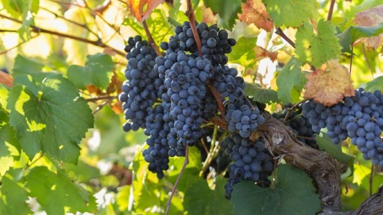 Primitivo di Manduria: un ottimo vino da bere a tavola