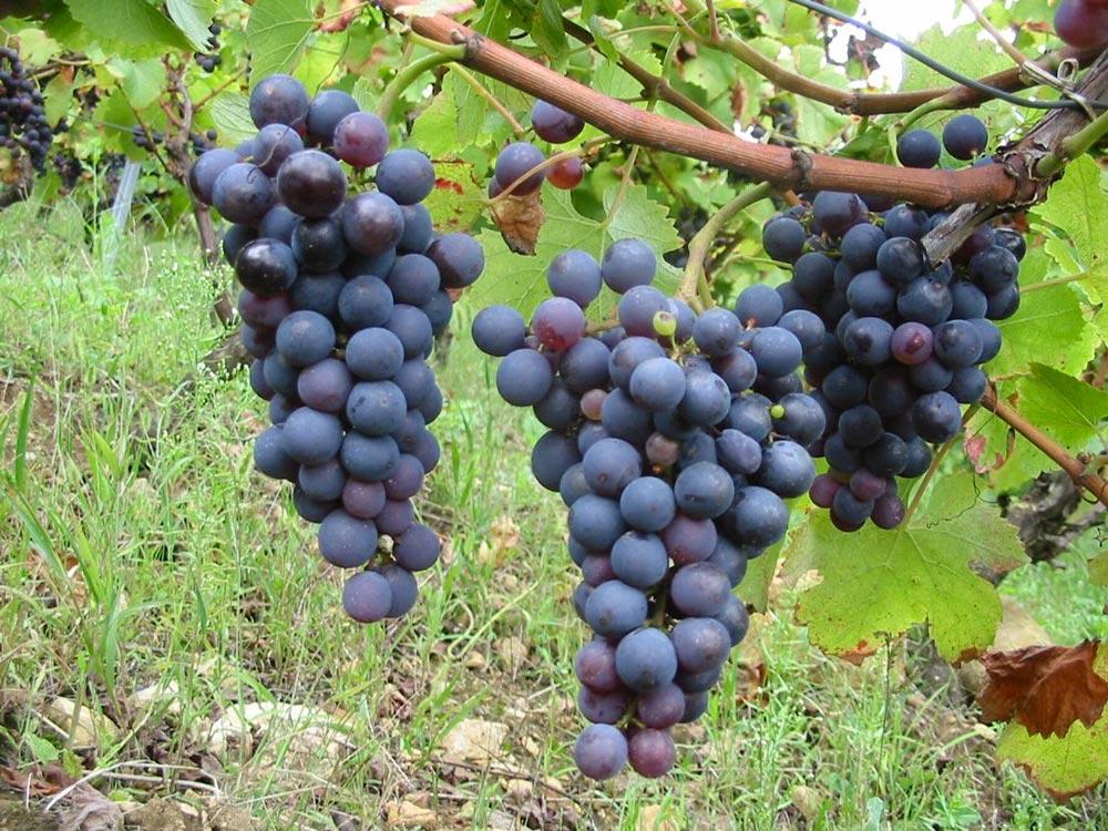 Negroamaro: il pregiato vino rosso del Salento