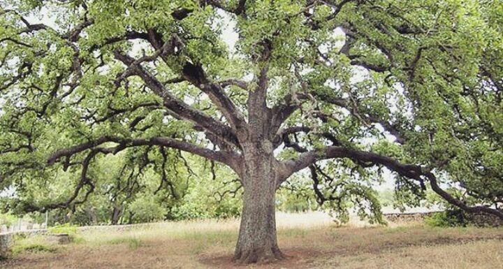 La Quercia Vallonea di Tricase, l'albero più antico del Salento