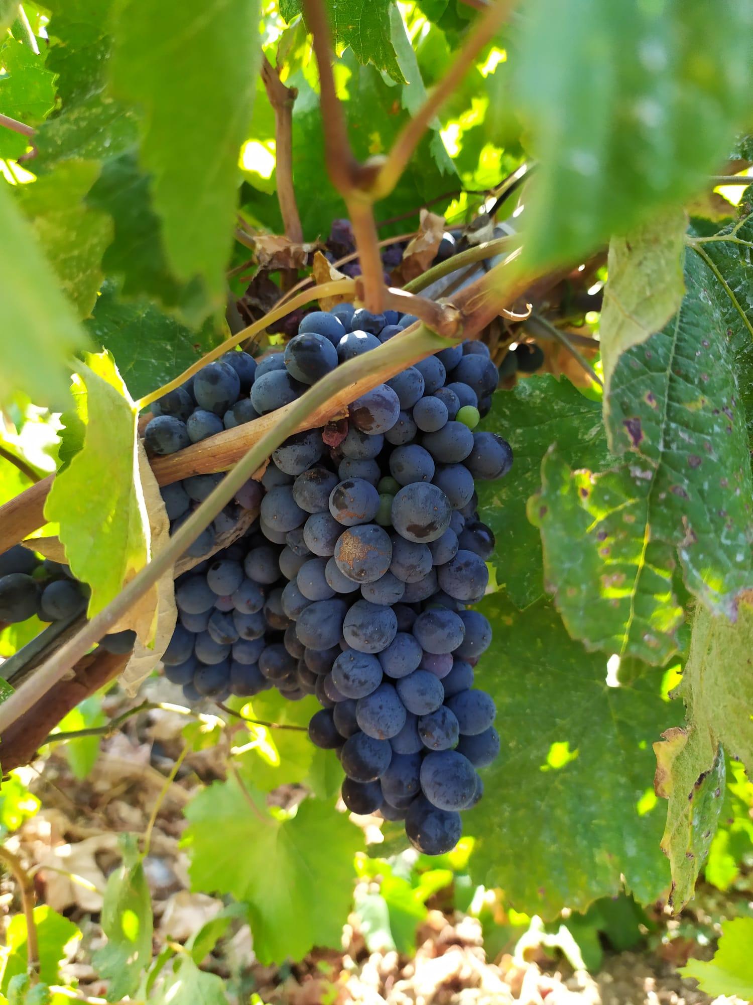 Le origini del vino Negroamaro nel Salento